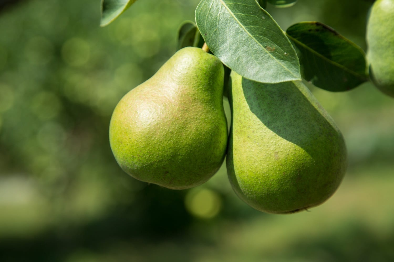 Green pears on the tree, photo credit: George Hodan
