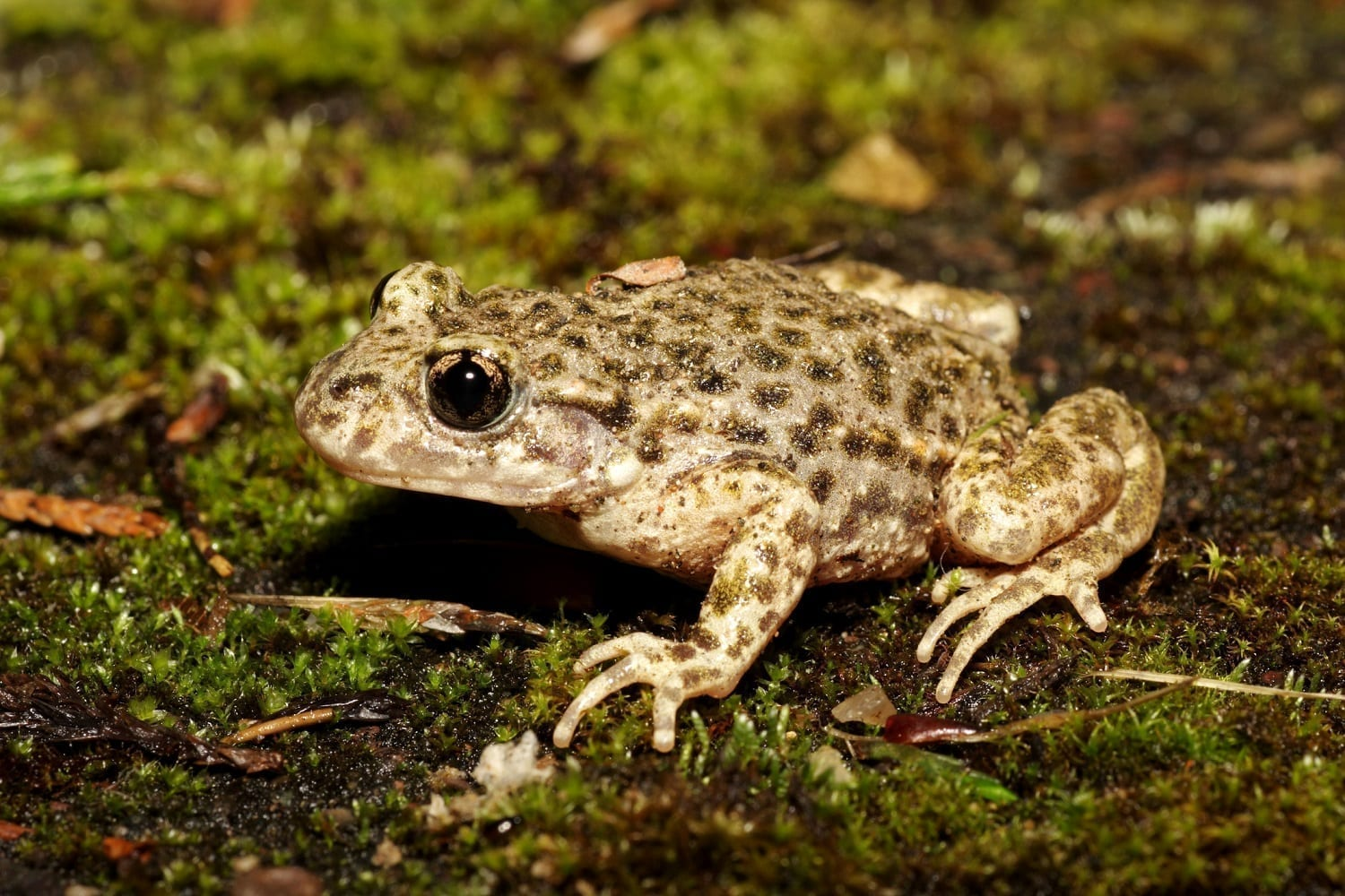Midwife Toad on mossy ground: ID 44681190 © Wildlifesnapper | Dreamstime.com