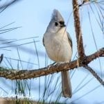 tufted-titmouse-William-Wise