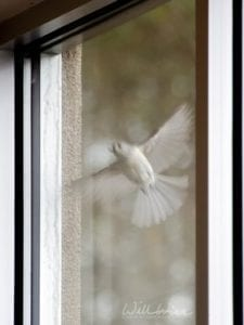 tufted titmouse flying to peck its reflection, photo credit: William Wise