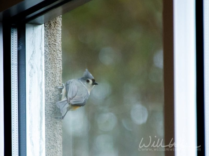 tufted titmouse on a church window frame, photo credit: William Wise