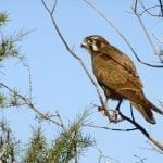 Brown Falcon sitting on a tree in Australia: ID 46401241 © Tinamou | Dreamstime.com