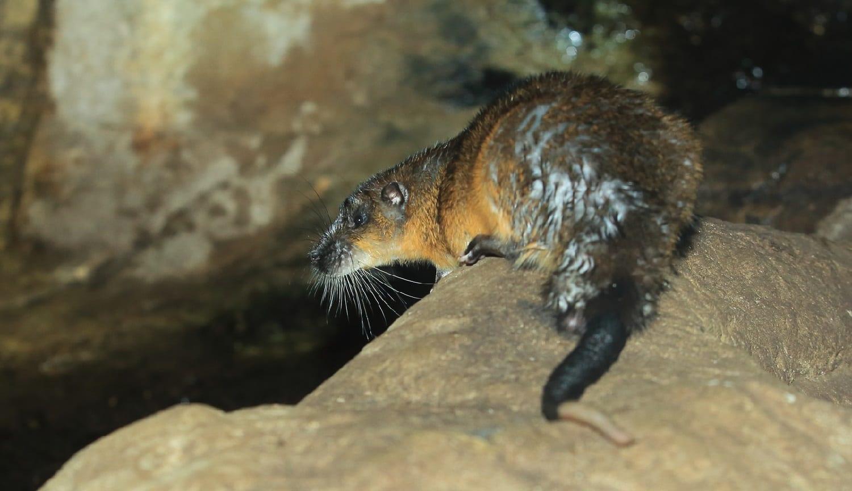 Australian water rat, Rakali: ID 121311268 © Lukas Blazek | Dreamstime.com