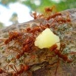 Red ants carrying food along a branch, photo credit: Ester Sánchez Alfaro