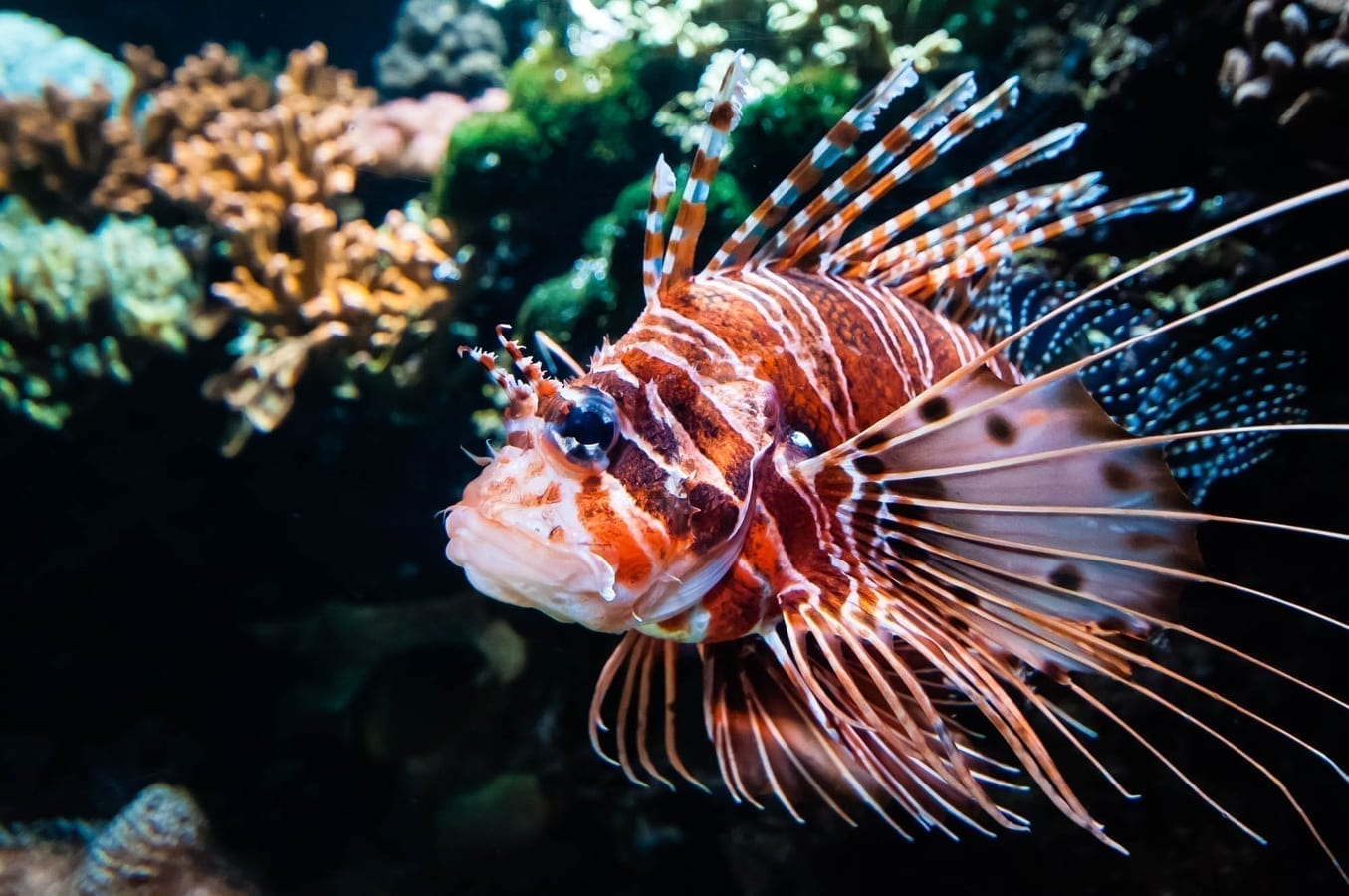 Lionfish in a reef, photo credit: pxhere