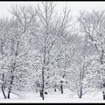Snow covered bare trees, photo credit: Pat Mingerelli