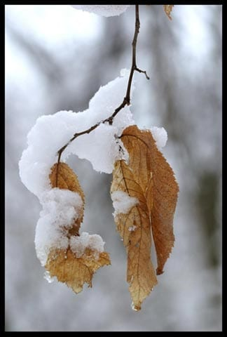 Snow on dried leaves, photo credit: Pat Mingerelli