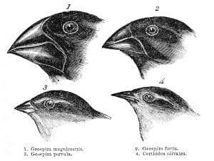 Darwin's Finch heads drawings