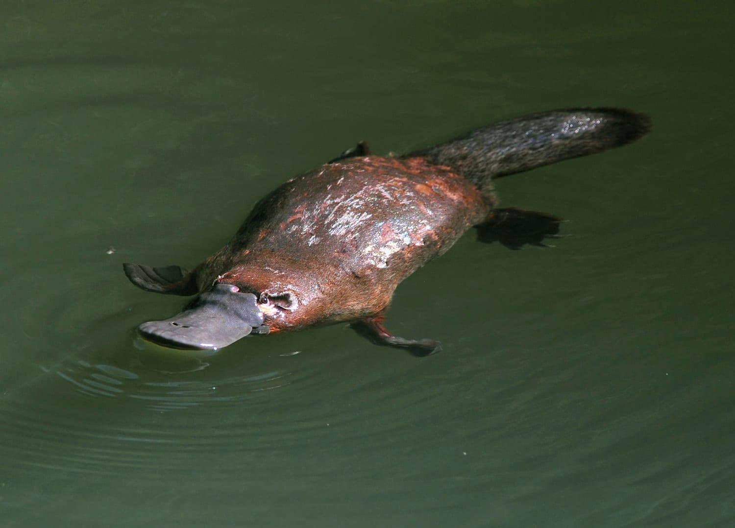 Platypus swimming: ID 25998343 © Hotshotsworldwide | Dreamstime.com
