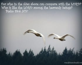 Swans flying with Psalm 89:6, photo credit: Wendy MacDonald