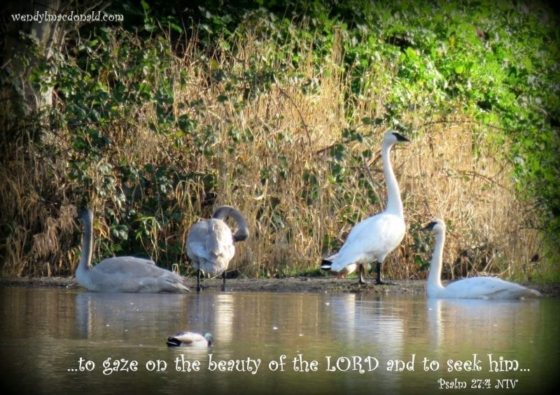Swans wading and swimming with Psalm 27:4, photo credit: Wendy MacDonald