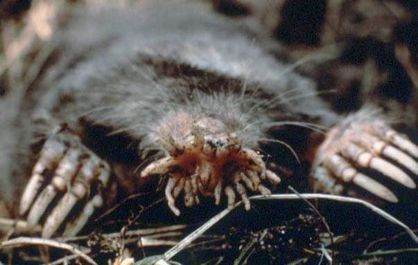 Star-nosed Mole close up