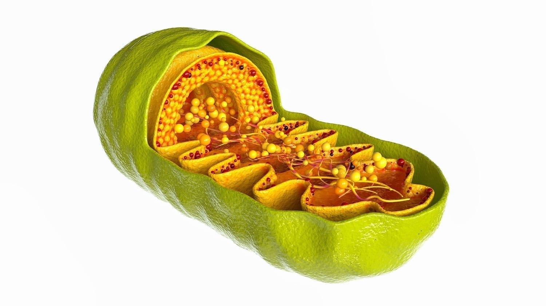 Mitochondria structure computer model: ID 165312954 © Futurer | Dreamstime.com