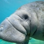 West Indian Manatee close up: ID 174524524 © Phillip Lowe | Dreamstime.com