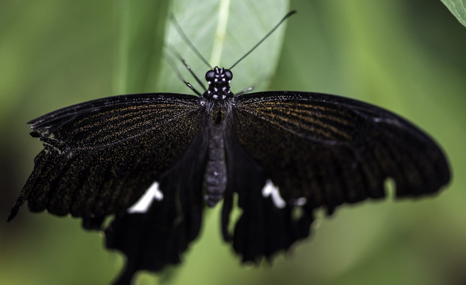 Black butterfly on a leaf, photo credit: Good Free Photos