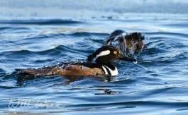 Hooded Merganser Ducks diving, William Wise Photography