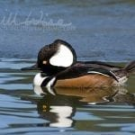Hooded Merganser Duck, William Wise Photography