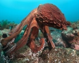 Giant octopus off the coast of Japan: ID 24786240 © Boris Pamikov | Dreamstime.com