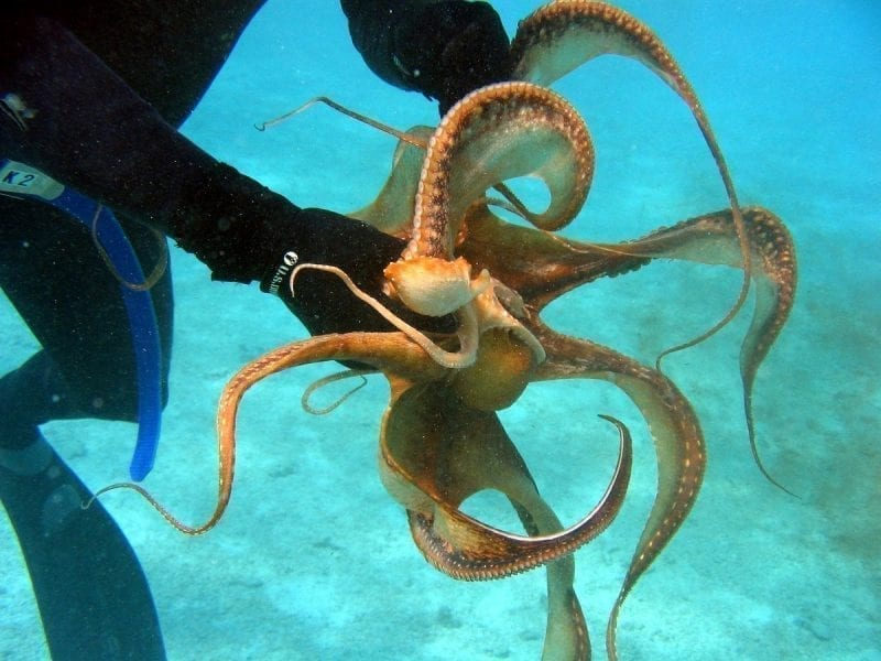 Octopus held by a diver showing its arms