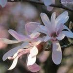 Tree Blossoms, photo credit: Wendy MacDonald
