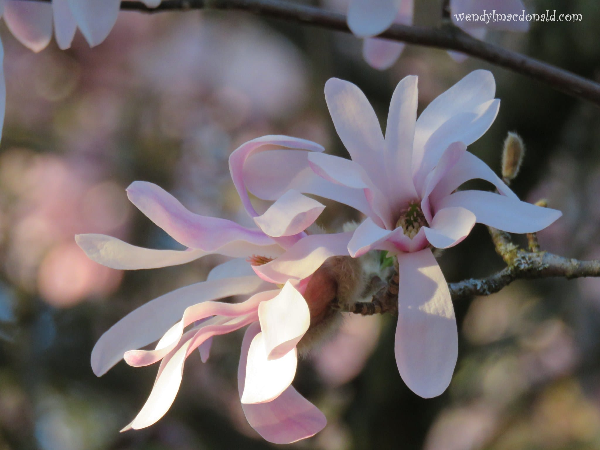 Tree Blossoms, photo credit: Wendy MacDonald