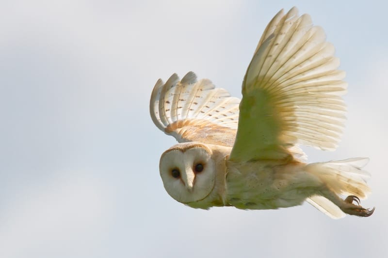 Barn owl flying: ID 20471978 © Rhallam | Dreamstime.com