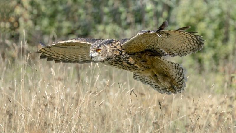 Eurasian Eagle Owl flying over grasses: ID 158990579 © Agdbeukhof | Dreamstime.com