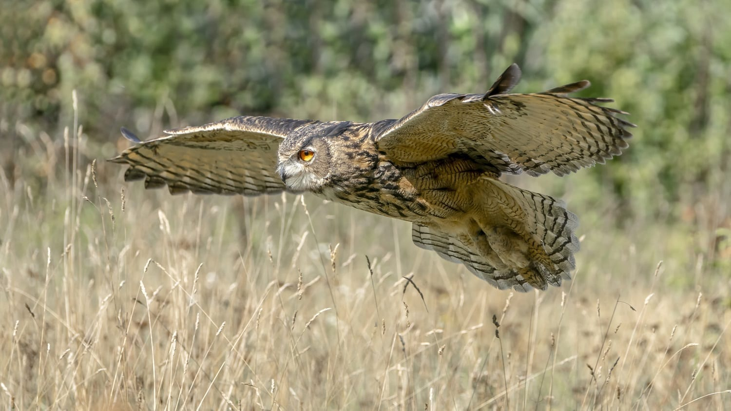 Eurasian Eagle Owl flying over grasses: ID 158990579 © Agdbeukhof | Dreamstime.com