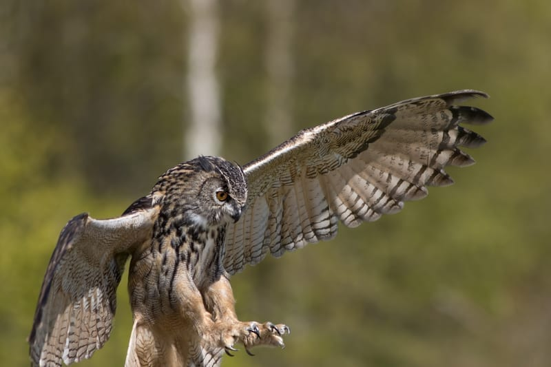 Eurasian Eagle Owl with talons and wings outspread: ID 107012264 © Ian Dyball | Dreamstime.com