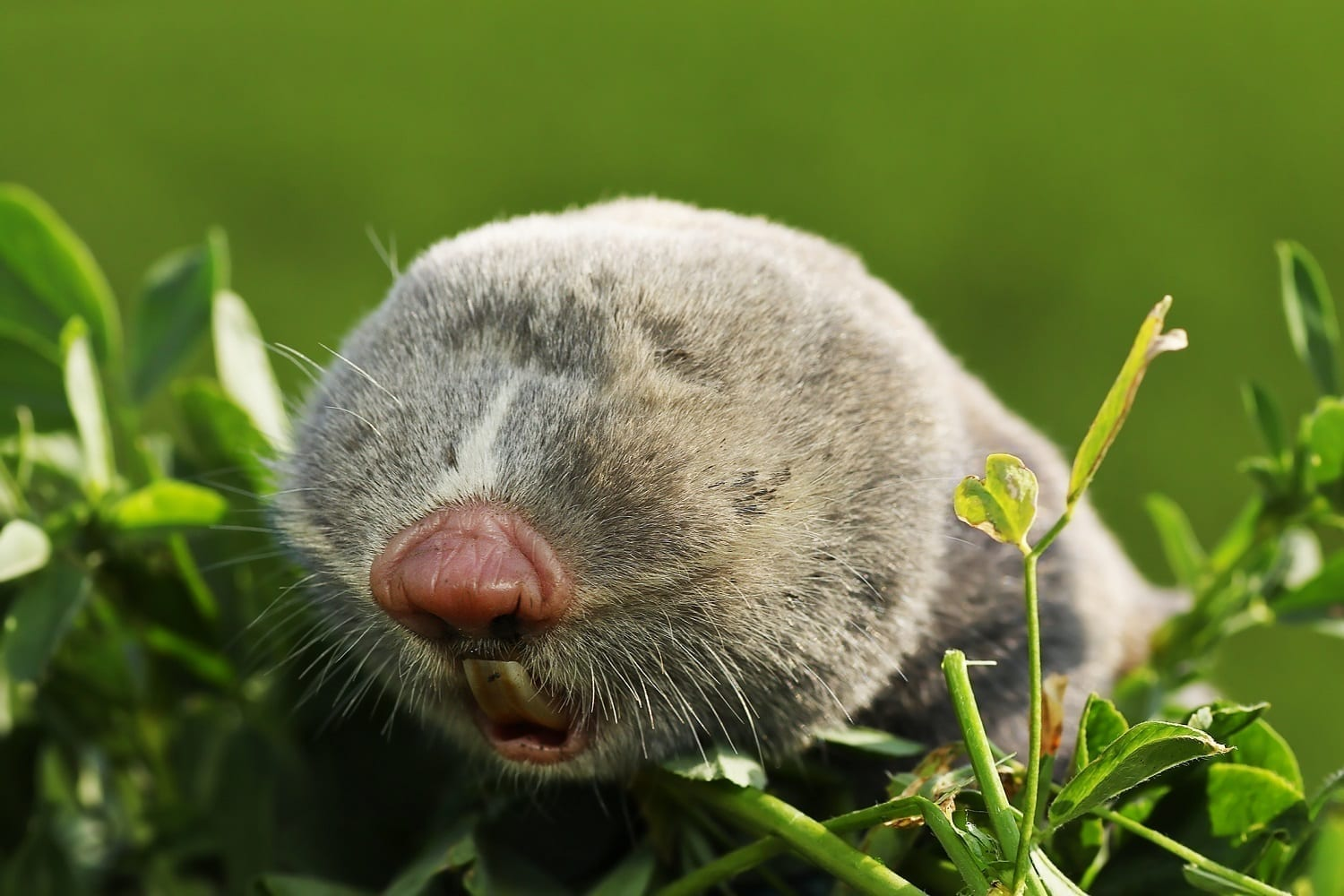 Blind Mole-Rat showing furry face with no visible eyes: ID 138105249 © Taviphoto | Dreamstime.com