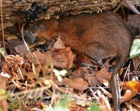 Muskrat in leaf litter, photo credit: William Wise