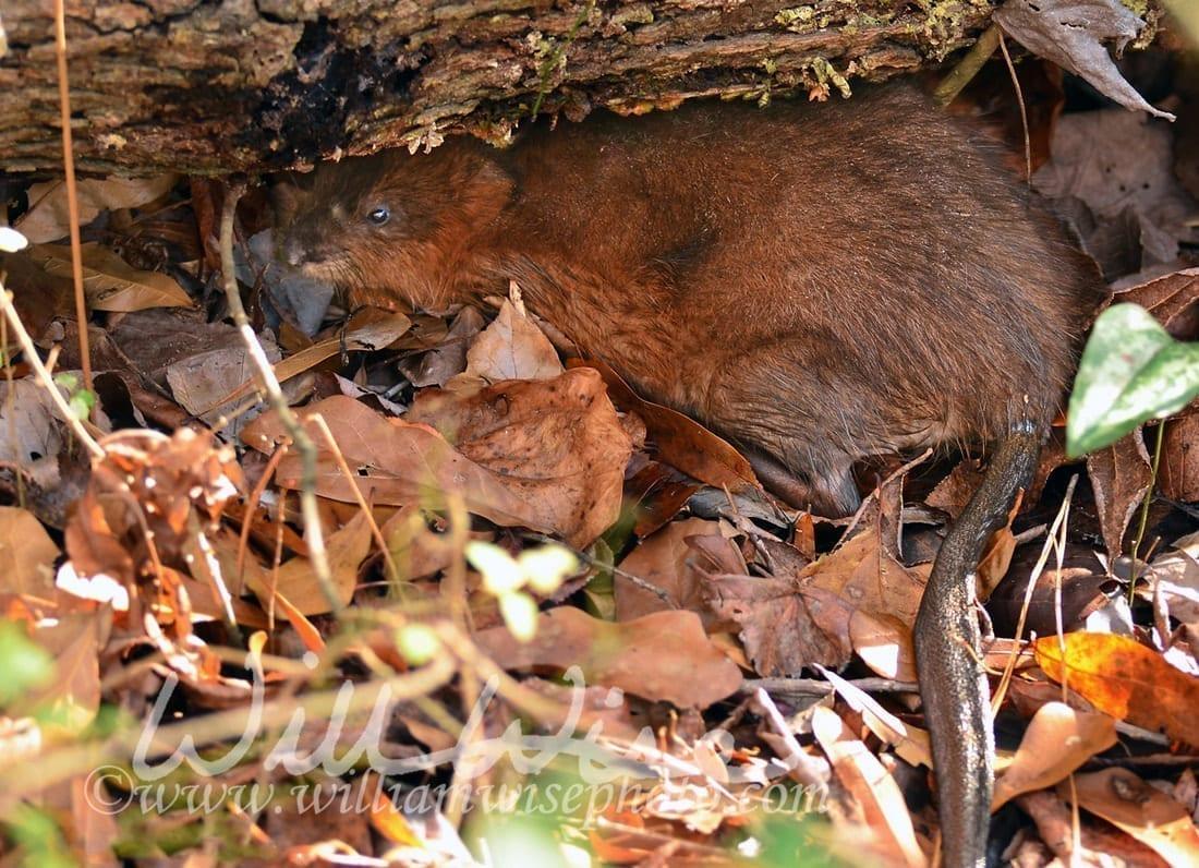 Muskrat in leaf litter, photo credit: William Wise