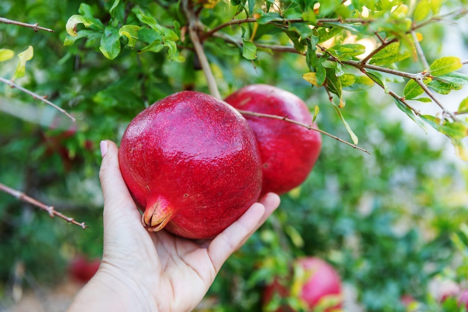 Hand reaching for a pomegranate: ID 168144212 © Tetiana Kalian | Dreamstime.com