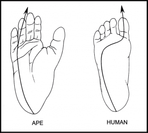 Diagram of human and ape weight bearing lines compared