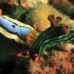 Two Nudibranchs on coral: ID 11142285 © John Anderson | Dreamstime.com
