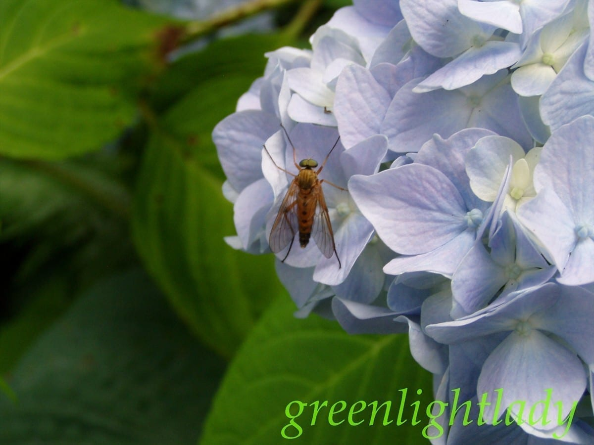 Large fly on a Hydrangea, photo credit: Wendy MacDonald