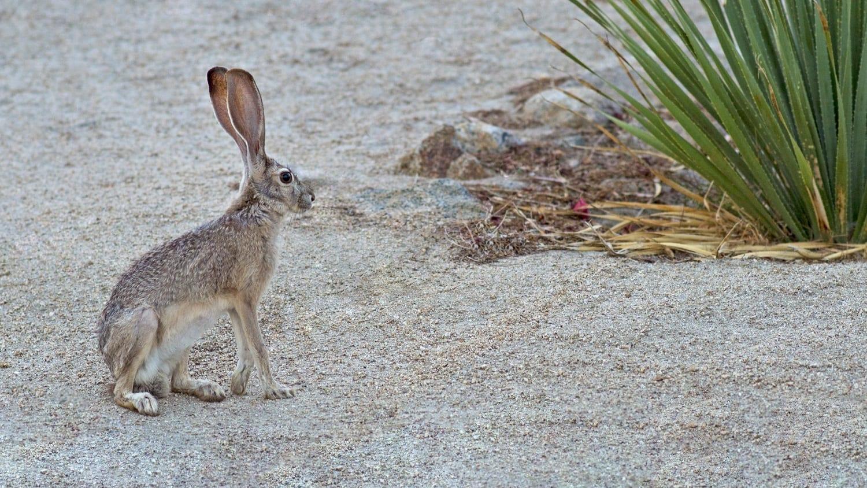 Antelope Jackrabbit: ID 42404517 © Jilliansuzanne | Dreamstime.com