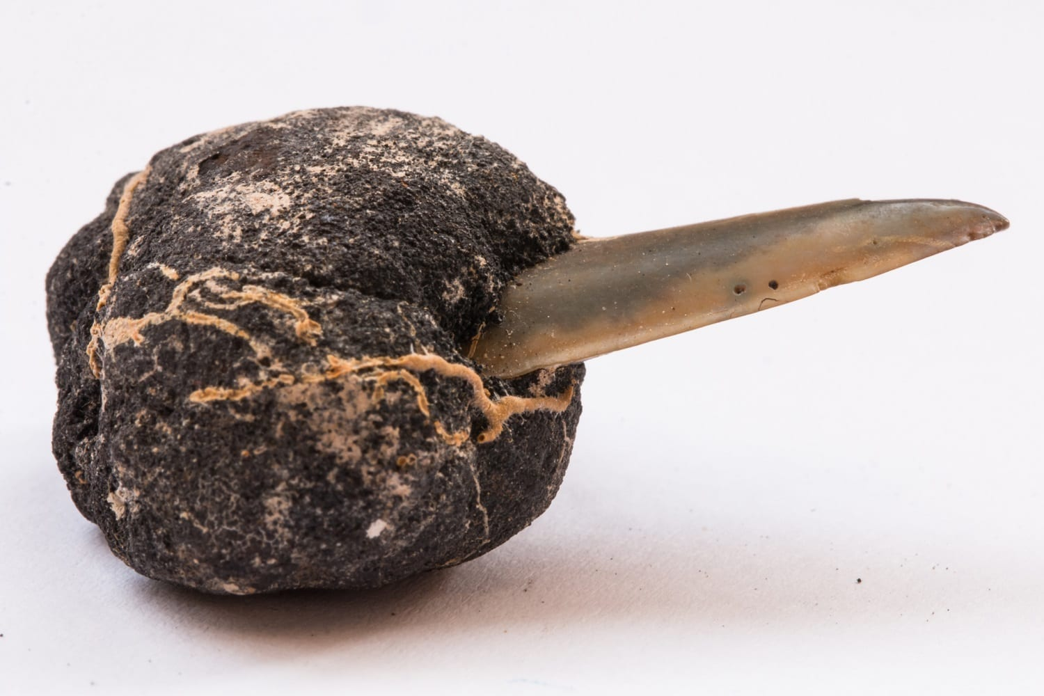 Ferromanganese/Polymetallic nodule around a shark's tooth from the Pacific Ocean: ID 101386935 © Vsg Art Stock Photography And Paintings   Dreamstime.com
