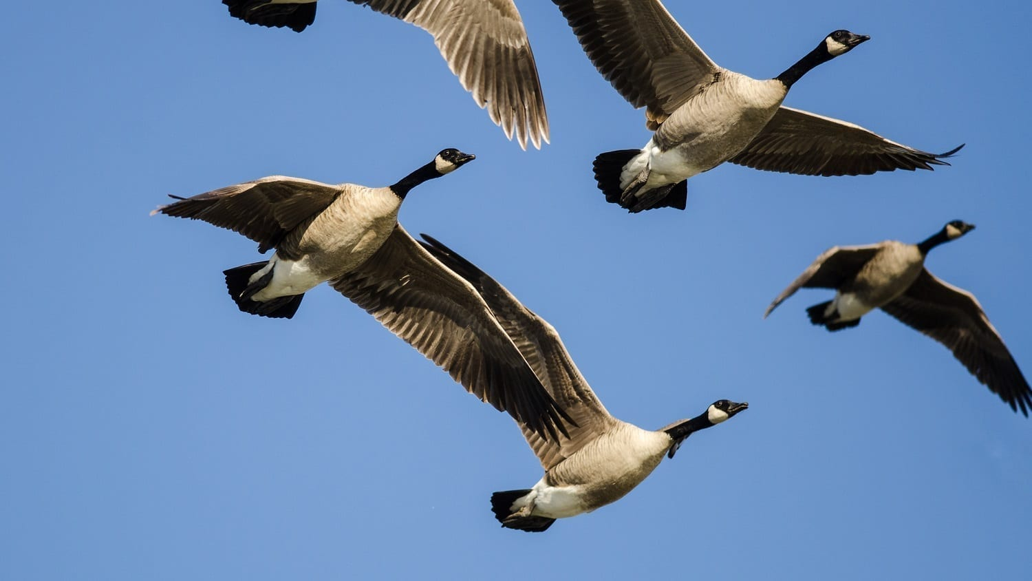 Canada Geese flying in formation: Photo 114363306 © Rck953 | Dreamstime.com