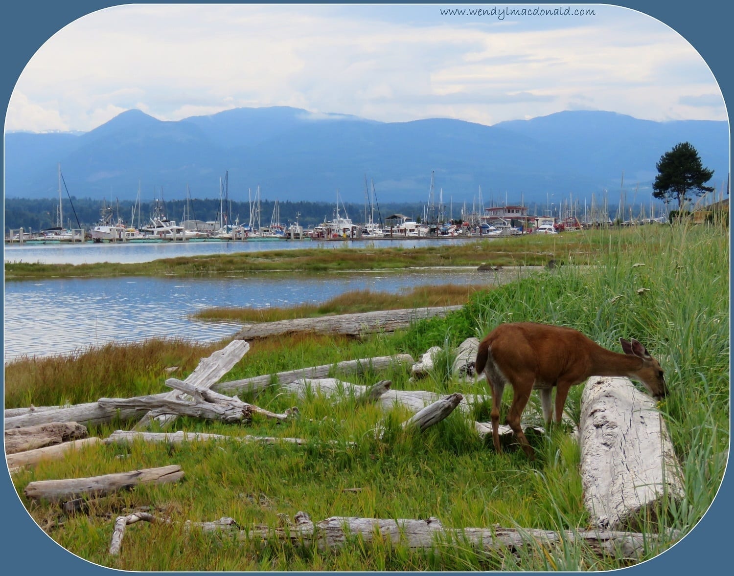 Deer near an inlet with boat and mountains behind, photo credit: Wendy MacDonald