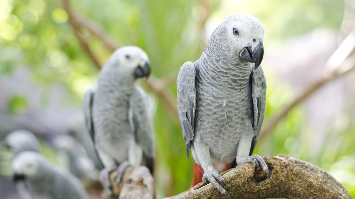 African Grey Parrots on a branch: Photo 34450795 © Piyathep | Dreamstime.com