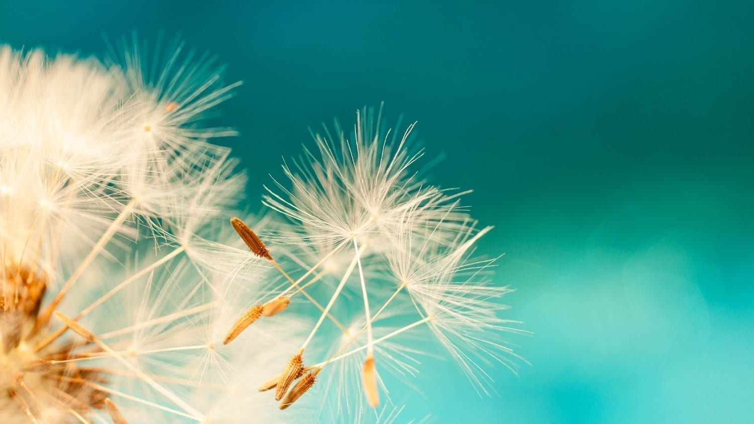 Dandelion seeds blowing from a seed head: Photo 118689372 © Ana Prego | Dreamstime.com