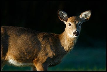 Whitetail Deer Doe looking at us, photo credit: Pat Mingarelli