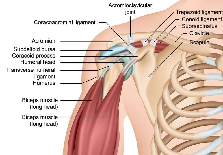 Shoulder joint and muscles anatomy chart: Illustration 142346409 © Medical Stocks | Dreamstime.com