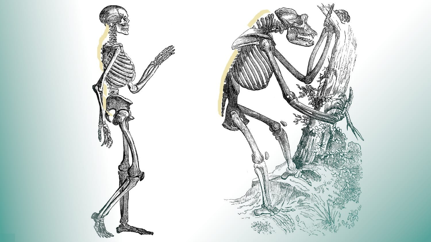 Drawings of Ape and Human Skeletons from 1859