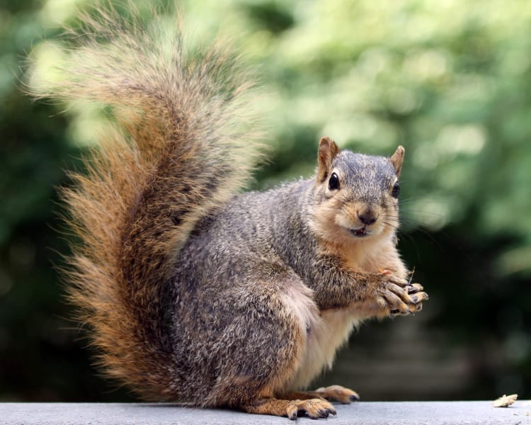 Squirrel showing it's bushy tail, photo credit: J.D. Mitchell