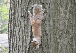 Squirrel clinging to a tree trunk with head down, photo credit: J.D. Mitchell