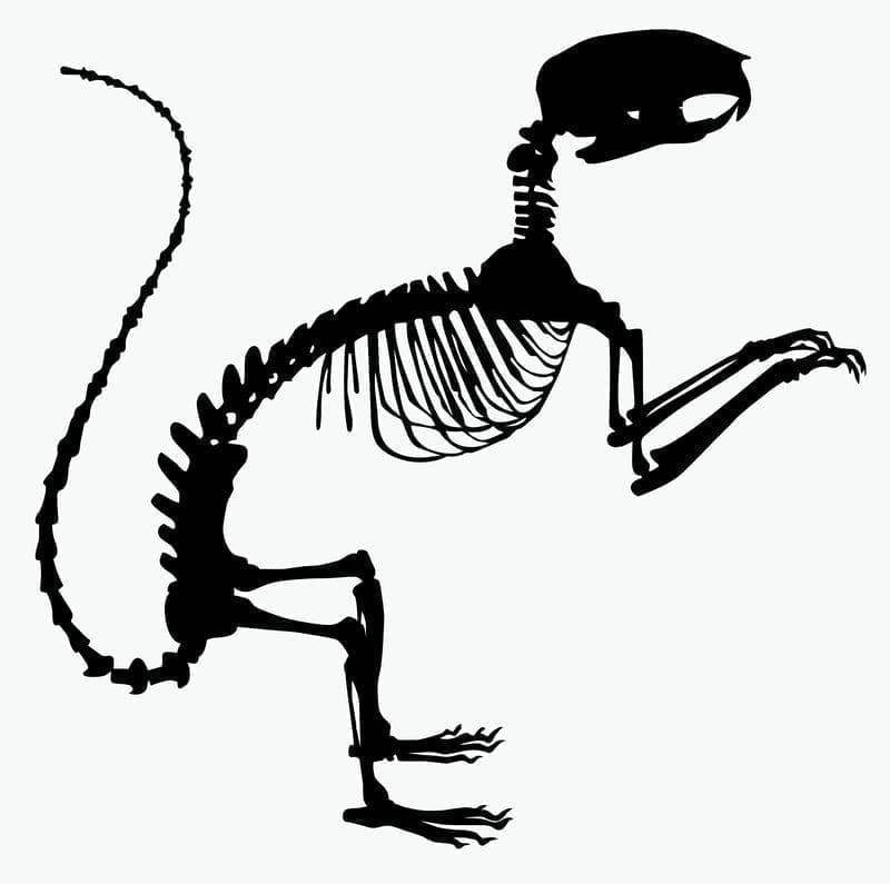 Squirrel skeleton graphic: Illustration 167588116 © Oksana Voievchik | Dreamstime.com