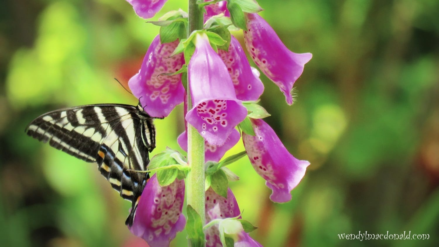 Swallowtail butterfly on foxgloves, photo credit: Wendy MacDonald