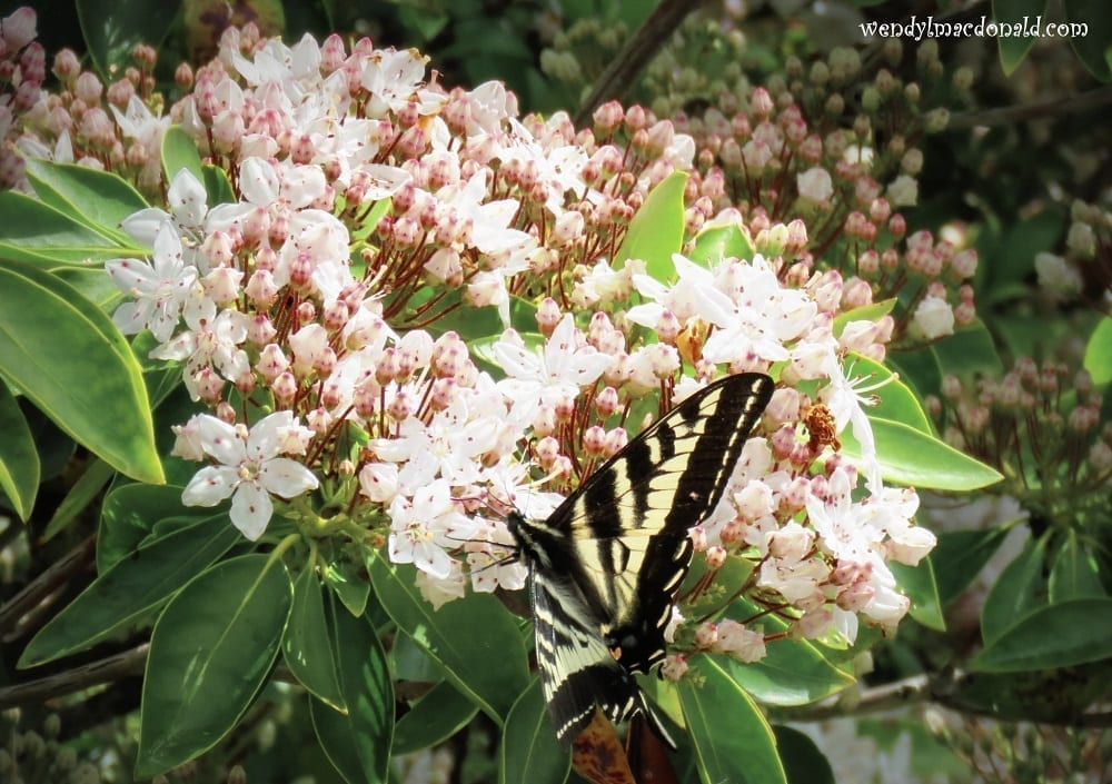 Swallowtail on clustered flowers, photo credit: Wendy MacDonald